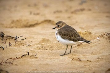 Barwon Heads, Victoria - Australia 'Sunrise at the Beachfront' Photographed by Karen Robinson March 2019 Comments - A beautiful morning with hubby visiting the area of Barwon Heads and some surrounding areas photographing the sunrise, the ocean beach and local native birdlife. Photograph featuring Lesser Sand Plover.