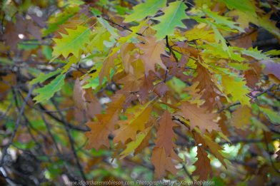 Mount Macedon, Victoria - Australia 'Duneira Heritage Garden' Photographed by Karen Robinson April 2019 Comments - A beautiful Autumn day with hubby at these magnificent gardens where tall trees are the dominating feature. Photograph featuring colourful autumn leaves.