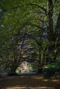 Mount Macedon, Victoria - Australia 'Duneira Heritage Garden' Photographed by Karen Robinson April 2019 Comments - A beautiful Autumn day with hubby at these magnificent gardens where tall trees are the dominating feature. Photograph featuring tall Dutch Elms arching over creating an archway to a back lawn area.