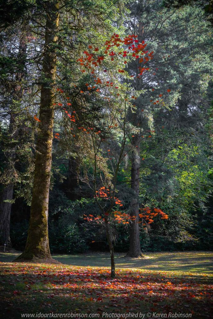 Mount Macedon, Victoria - Australia 'Duneira Heritage Garden' Photographed by Karen Robinson April 2019 Comments - A beautiful Autumn day with hubby at these magnificent gardens where tall trees are the dominating feature. Photograph featuring little tree shedding its rich red autumn leaves.