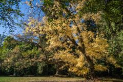 Mount Macedon, Victoria - Australia 'Duneira Heritage Garden' Photographed by Karen Robinson April 2019 Comments - A beautiful Autumn day with hubby at these magnificent gardens where tall trees are the dominating feature. Photograph featuring old Maple Tree shedding its golden Autumn Leaves.