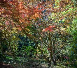 Mount Macedon, Victoria - Australia 'Duneira Heritage Garden' Photographed by Karen Robinson April 2019 Comments - A beautiful Autumn day with hubby at these magnificent gardens where tall trees are the dominating feature. Photograph featuring Maple tree shedding its lipstick red coloured Autumn leaves.