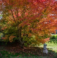 Mount Macedon, Victoria - Australia 'Duneira Heritage Garden' Photographed by Karen Robinson April 2019 Comments - A beautiful Autumn day with hubby at these magnificent gardens where tall trees are the dominating feature. Photograph featuring Maple tree shedding its lipstick red coloured Autumn leaves and a little girl standing by it.