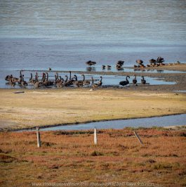 Duverney, Victoria - Australia 'Lake Rosine' Photographed by Karen Robinson June 2019 Comments - Early morning view across Lake Rosine where a mass of Black Swans swam close to its shoreline.