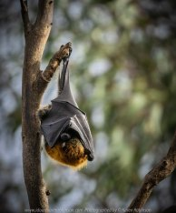 Australia 'Flying-Foxes at Yarra Bend Park' Photographed by Karen Robinson Comments - Grey-headed Flying Fox Colonies roosting along the Yarra River.
