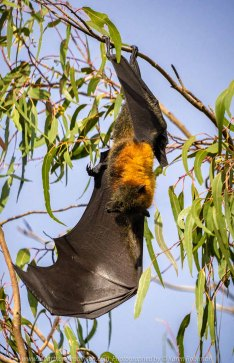 Kew, Victoria - Australia 'Flying-Foxes at Yarra Bend Park' Photographed by Karen Robinson Comments - Grey-headed Flying Fox Colonies roosting along the Yarra River.