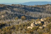 Mount Buffalo, Victoria - Australia 'Mount Buffalo Road' Photographed by Karen Robinson September 2019 Comments - Beautiful Spring day driving along Mount Buffalo Road photographing magnificent regional scenic views. Photograph featuring late afternoon sunbathing naked tall trees covering mountainside that a month beforehand was covered in the winter snow.