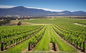 Bayindeen, Victoria - Australia 'Mount Lang Ghiran Vineyard' Photographed by Karen Robinson November 2019 Comments - Beautiful sunny day photographing this scene region.