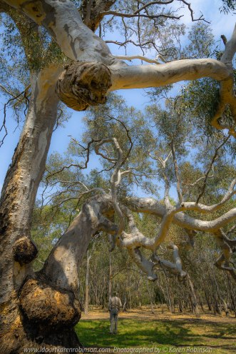 Greenvale, Victoria - Australia 'Woodlands Historic Park Gum Trees' Photographed by Karen Robinson January 2020 Comments: Beautiful old Australian Gum Trees standing like crafted abstract sculptures.