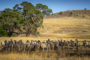 Pyalong, Victoria - Australia 'Sheep Grazing' Photographed by Karen Robinson January 2020 Comments - It's summertime and the Australian Rural Landscape can be very dry. Sheep moved towards our car in the hope we were bringing feed as they normally rush away when approached. A sign of the times!