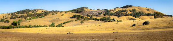 Tooborac, Victoria - Australia 'Cattle Grazing' Photographed by Karen Robinson January 2020 Comments - It was clear these animals where travelling fairly quickly across dry summer pastures looking for food. NB: My first attempt at a Panorama Photograph!