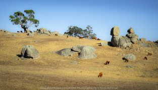Tooborac, Victoria - Australia 'Cattle Grazing' Photographed by Karen Robinson January 2020 Comments - It was clear these animals where travelling fairly quickly across dry summer pastures looking for food.