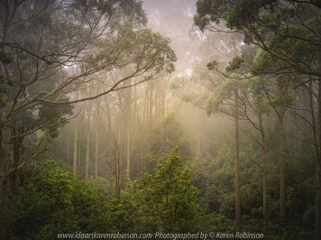 Mount Macedon, Victoria - Australia 'Sanatorium Lake Area' Photographed by Karen Robinson March 2020. Comments: A drive through Mount Macedon Regional Park around the Sanatorium Lake area revealed beautiful parts where trees stood tall amongst soft morning mountain mist.