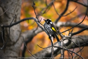 Attwood, Victoria - Australia 'Holland Honey Eater Bird in Oak Tree' Photographed by Karen Robinson April 2020 Comments: I sat for hours in my home garden waiting for this Honey Eater to fly and rest on this particular branch so I could also capture the beautiful Oak Tree Autumn leaf colours.