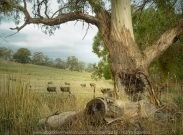 Faraday, Victoria - Australia 'Sheep Grazing in Pastures' Photographed by Karen Robinson April 2020. Comments: Magnificent old gum tree in the foreground with sheep grazing in the background - a typical farming rural scene.