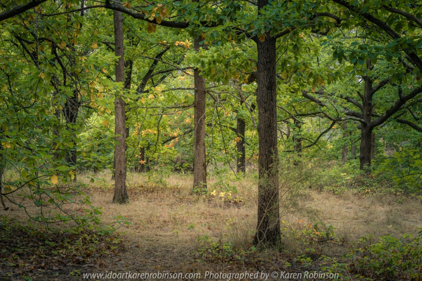 Harcourt, Victoria - Australia 'The Oak Forest in Autumn' Photographed by Karen Robinson April 2020. Comments: Lush green and autumn coloured leaves are a stand out amongst the oak forest.