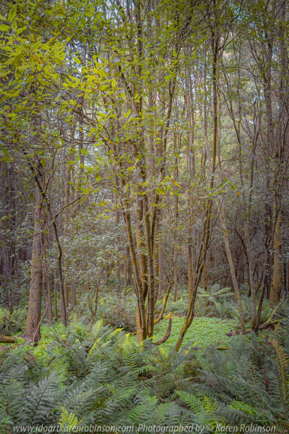 Mount Macedon, Victoria - Australia 'Macedon Regional Park Region' Photographed by Karen Robinson March 2020 Comments: Autumn drive up along Hells Hole Track had us finding this beautiful lush green forest. Fern ground cover and tall spindly trees help to create a magical environment. A wonderful retreat for natural wildlife!