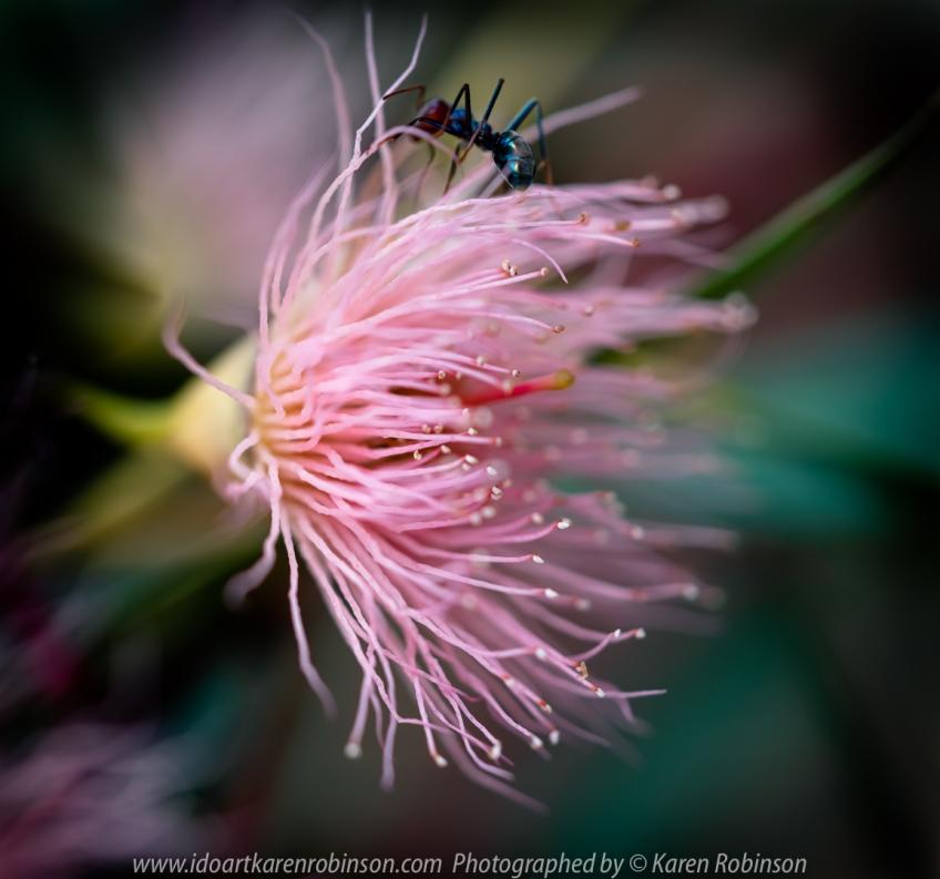 Sunbury, Victoria - Australia 'Jacksons Creek on Settlement Road Photographed by Karen Robinson June 2020 Comments - Macro photographing of pink Eucalyptus tree flowers nicknamed 'Fairy Floss'