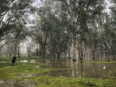 Limestone, Victoria - Australia 'Yea River Wetlands on Murrindini Road' Photographed by Karen Robinson June 2020 Comments - Misty winter wetlands featuring tall gumtrees standing in pools of water.