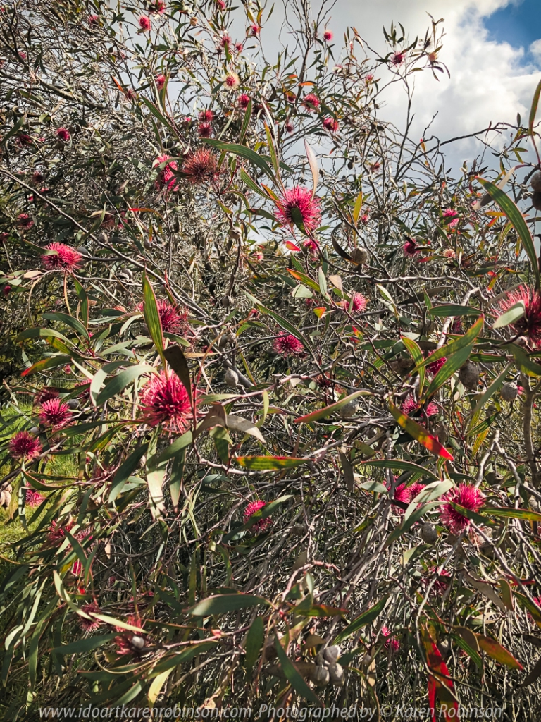 Sunbury, Victoria - Australia 'Jacksons Creek on Settlement Road Photographed by Karen Robinson June 2020 Comments Beautiful Winter days at the location with family. Photograph featuring Australian Native flowering bush - Pincushion Hakea.