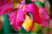Attwood, Victoria - Australia 'Autumn CCC Photography Task' Photographed by Karen Robinson May 2020 Comments: Colourful Autumn leaves in home garden macro photography.