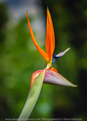 Attwood, Victoria - Australia 'Bird of Paradise' Photographed by Karen Robinson Oct 2020 Comments: Spring is here and the Bird of Paradise is flowering gloriously in our home garden.