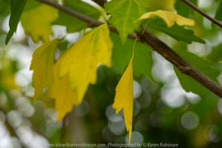 Attwood, Victoria - Australia 'Macro in Home Garden - Autumn Leaves' Photographed by Karen Robinson April 2020 Comments: Stay at Home Photography - Beautiful Autunm leaf display in and around my home garden.