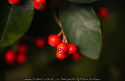 Attwood, Victoria - Australia 'Macro in Home Garden' Photographed by Karen Robinson April 2020 Comments: Stay at Home Photography - Red berries hanging from large bush growing in front garden.