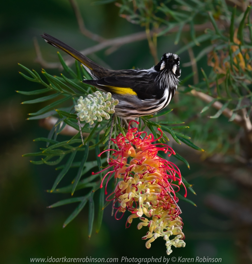 Attwood, Victoria - Australia 'Close Up - New Holland Honeyeater in Home Garden' Photographed by Karen Robinson April 2020 Comments: Stay at Home Photography time!