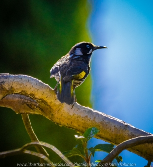Attwood, Victoria - Australia 'New Holland Honeyeater' Photographed by Karen Robinson October 2018 Comments - Back garden featuring flowering red bottlebrush bushes attracting many New Hollard Honeyeaters that dart from one spot to another.
