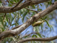 Bulla, Victoria - Australia 'Organ Pipes National Park' Photographed by Karen Robinson November 2018 Comments - Overcast with a pleasant bushwalking temperature, the National Park provided hubby and me with beautiful nature scenic landscape views and a varying number of birds to photograph. Photograph featuring White-plumed Honeyeater.