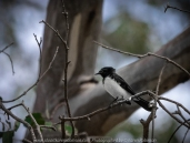Bulla, Victoria - Australia 'Organ Pipes National Park' Photographed by Karen Robinson November 2018 Comments - Overcast with a pleasant bush walking temperature, the National Park provided hubby and I with beautiful nature scenic landscape views and a varying number of birds to photograph. Photograph featuring Willy Wagtail.