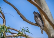 Bulla, Victoria - Australia 'Organ Pipes National Park' Photographed by Karen Robinson November 2018 Comments - Overcast with a pleasant bushwalking temperature, the National Park provided hubby and me with beautiful nature scenic landscape views and a varying number of birds to photograph. Photograph featuring Tawny Frogmouth Owl sleeping in Gum Tree.