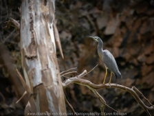Bulla, Victoria - Australia 'Organ Pipes National Park' Photographed by Karen Robinson November 2018 Comments - Overcast with a pleasant bushwalking temperature, the National Park provided hubby and me with beautiful nature scenic landscape views and a varying number of birds to photograph. Photograph featuring White-Faced Heron.