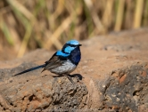 Werribee South, Victoria - Australia 'Werribee Open Range Zoo' Photographed by Karen Robinson January 2020 Comments: Photography featuring Superb Fairy-Wren.