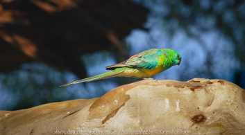 Greenvale, Victoria - Australia 'Woodlands Historic Park Purple Flowered Fields' Photographed by ©Karen Robinson Nov 2020 Comments: Photograph featuring Budgerigar high up in the branch of a gum tree.