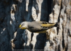 Greenvale, Victoria - Australia 'Woodlands Historic Park Purple Flowered Fields' Photographed by ©Karen Robinson Nov 2020 Comments: Photograph featuring Striated Pardalote sitting on edge of the tree trunk where the nest is situated in between the bark.