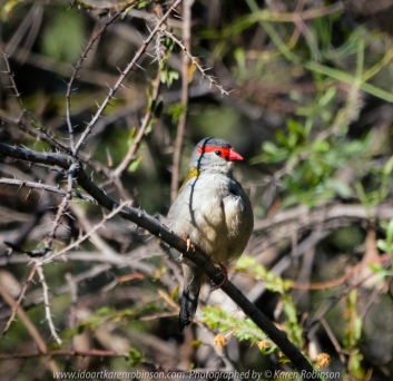 Greenvale, Victoria - Australia 'Woodlands Historic Park Spring Morning' Photographed by ©Karen Robinson Nov 2020 Comments: Beautiful Spring morning! Photograph featuring Red-browed Finch.