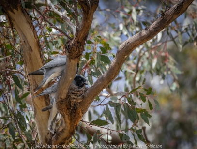 Greenvale, Victoria - Australia 'Woodlands Historic Park' Photographed by Karen Robinson October 2018 Comments: Beautiful spring day trying out my new lens for bird photography with my hubby and daughter with her baby, Maddie - our granddaughter. Photograph featuring a pair of nesting Black-faced Woodswallows.