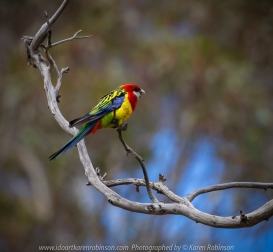 Greenvale, Victoria - Australia 'Woodlands Historic Park' Photographed by Karen Robinson October 2018 Comments: Beautiful spring day trying out my new lens for bird photography with my hubby and daughter with her baby, Maddie - our granddaughter. Photograph featuring Eastern Rosella Parrot.