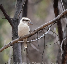 Greenvale, Victoria - Australia 'Woodlands Historic Park' Photographed by Karen Robinson October 2018 Comments: Beautiful spring day trying out my new lens for bird photography with my hubby and daughter with her baby, Maddie - our granddaughter. Photograph featuring Laughing Kookaburra.