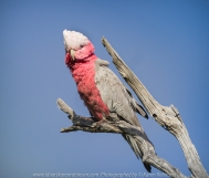 Greenvale, Victoria - Australia 'Woodland Historic Park Spring' Photographed by ©Karen Robinson Oct 2020 Comments: Beautiful Spring morning photographing tree and local birdlife. Photograph featuring the pink and grey cockatoo.