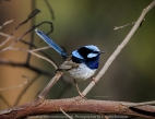 Greenvale, Victoria - Australia 'Woodland Historic Park Spring' Photographed by ©Karen Robinson Oct 2020 Comments: Beautiful Spring morning photographing tree and local birdlife. Photograph featuring male Superb Fairy-wren.