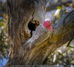 Greenvale, Victoria - Australia 'Woodland Historic Park Spring' Photographed by ©Karen Robinson Oct 2020 Comments: Beautiful Spring morning photographing tree and local birdlife. Photograph featuring the pink and grey cockatoo also known as the Galah nesting in Gum Tree hollow.