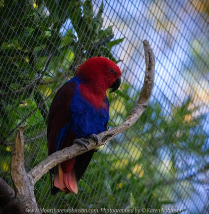 Parkville, Victoria - Australia 'Melbourne Zoo Trip 8' Photographed by Karen Robinson March 2019 Comments - This time it was about photographing Birds within the Walk-through Aviary. Photograph featuring Female Eclectus Parrot.
