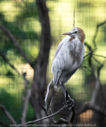 Parkville, Victoria - Australia 'Melbourne Zoo Trip 8' Photographed by Karen Robinson March 2019 Comments - This time it was about photographing Birds within the Walk-through Aviary.. Photograph featuring Cattle Egret.