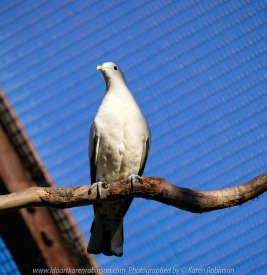 Parkville, Victoria - Australia 'Melbourne Zoo Trip 8' Photographed by Karen Robinson March 2019 Comments - This time it was about photographing Birds within the Walk-through Aviary. Photograph featuring Pied Imperial-Pigeon.