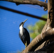 Parkville, Victoria - Australia 'Melbourne Zoo Trip 8' Photographed by Karen Robinson March 2019 Comments - This time it was about photographing Birds within the Walk-through Aviary. Photograph featuring Pied Heron.