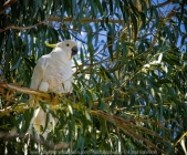 Seymour, Victoria - Australia 'Mark's 66th Birthday - Goulburn River near Caravan Park' Photographed by Karen Robinson November 2018 Comments - Day out with daughter Kelly, son-in-law Matt, granddaughter Maddie, hubby Mark and Karen fishing for Mark's Birthday. Photograph featuring Sulphur Crested Cockatoo perched high up on a Gum tree branch.