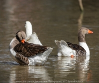Sunbury, Victoria - Australia 'Spavin Drive Lake & Jacksons Creek' Photographed by Karen Robinson Nov 2018 Comments - A couple of hours spent photographing local bird wildlife. Photography featuring Greylag Geese. #Greylag_Geese #Geese #Emden_Goose #Goose